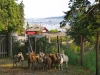 1-harbour-house-hotel-sheep-salt-spring-island