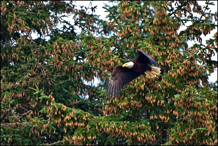 Eagle, Queen Charlotte Lodge, Haida Gwaii, British Columbia, Wildlife viewing
