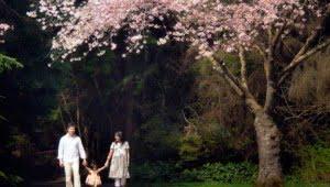 Stanley Park, springtime, Cherry Blossoms, Vancouver