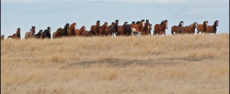 calgary-stampede-2012-galloping-horses