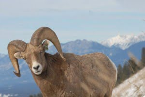 big-horn-sheep-radium-hot-springs-bc