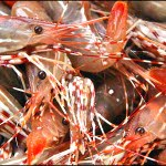spotted prawns vancouver bc