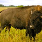 bison-riding-mountain-national-park-manitoba
