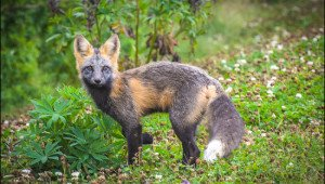 Fox PEI
