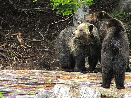 grizzly-bears-british-columbia