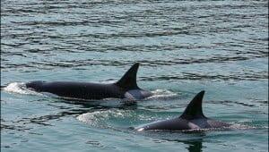 transient-orcas-alert-bay-bc