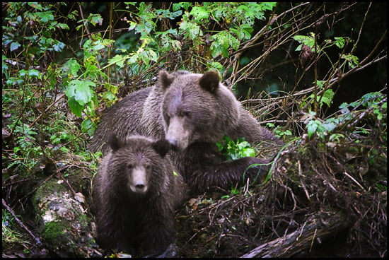 A mother grizzly bear and her cub on the Orford River Valley in central British Columbia. (Adrian Brijbassi/Vacay.ca)