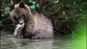 Bear cub eating salmon. (Adrian Brijbassi/Vacay.ca)