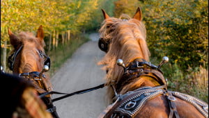 At Auberge Le Baluchon in Saint-Paulin, Quebec, a horse drawn carriage carries guests on a fall foliage tour along their country trails (Julia Pelish/Vacay.ca)