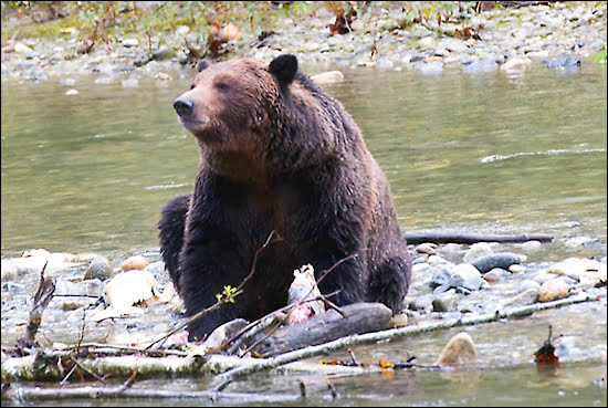 adult-grizzly-bear-discovery-islands