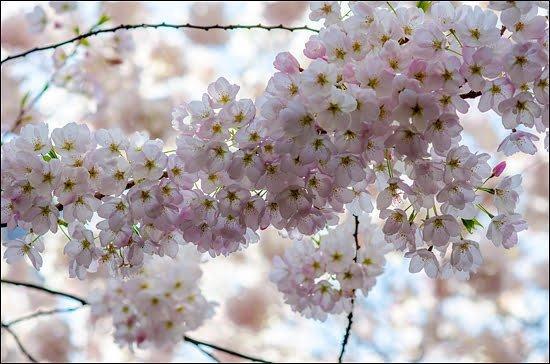 Burrard Skytrain, Vancouver, Cherry blossom festival, Akebono cherry trees