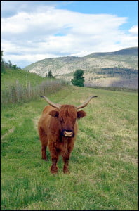 Highland cow on Covert Farms.  (Michelle Hopkins/Vacay.ca)