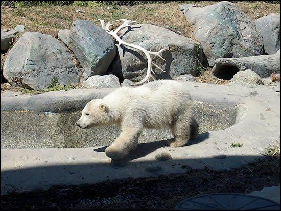 polar bear-humphrey-toronto zoo