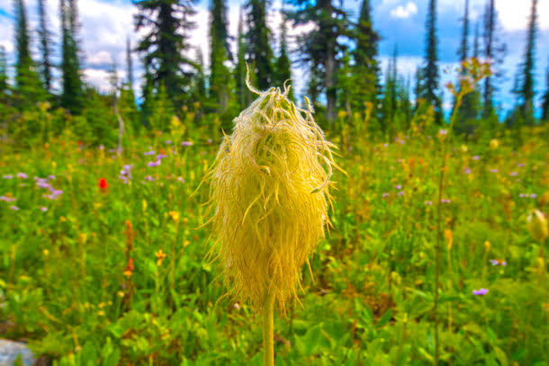 mount-revelstoke-national-park-western-anemone-hippy-head