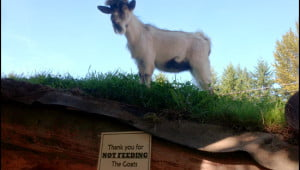 goats-on-the-roof-coombs-country-market-bc
