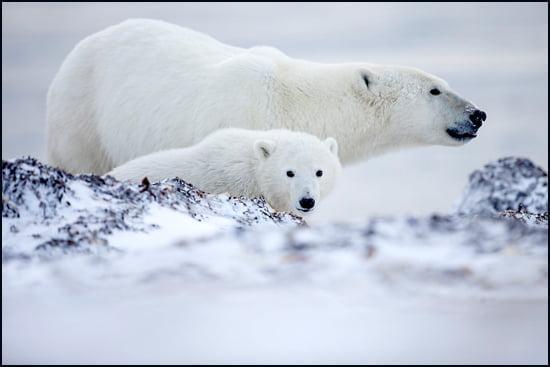 Nunavut-polar-bears-550