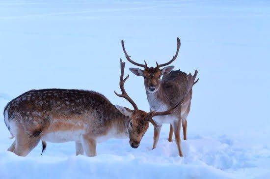parc-omega-deer-montebello-quebec