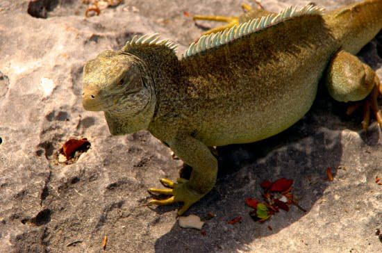 turks-and-caicos-iguana