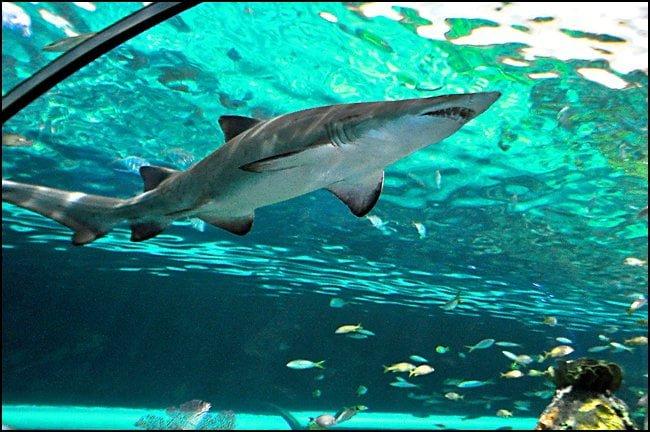 shark-ripleys-aquarium-toronto