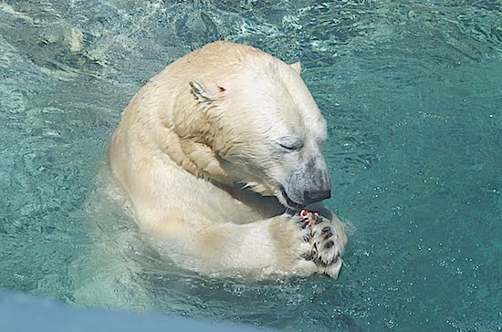 polar-bear-toronto-zoo
