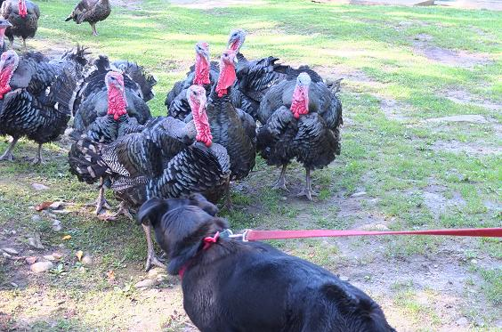 PET Juno_turkeys2