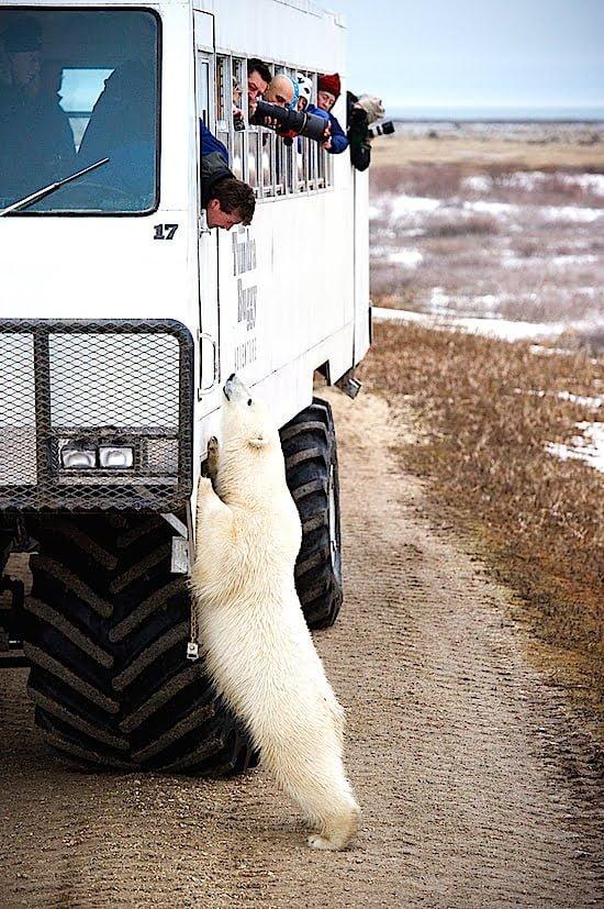 Polar-Bear-Tundra-Buggy-Frontiers-North-churchill