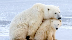 For at least 20 months polar bear cubs depend on their mothers for survival. (Mark Sissons/Vacay.ca)