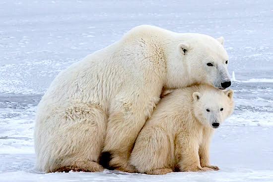Polar-Bear-and-Cub-Churchill-Manitoba