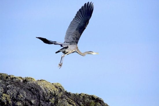 blue-heron-tofino-bc