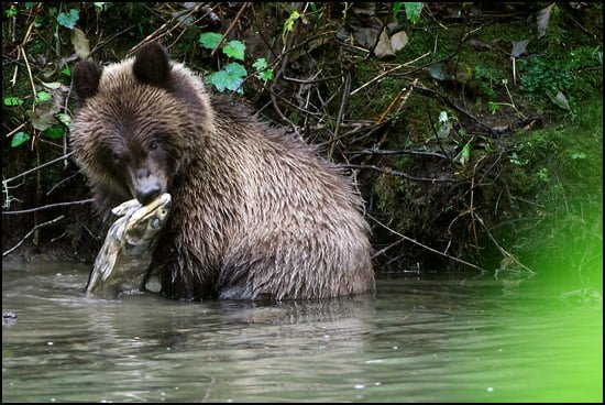cub-eating-salmon-feature