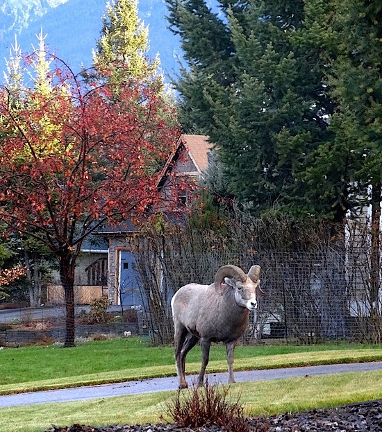 big-horn-sheep-in-radium-hot-springs