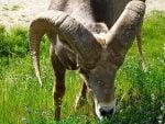 bighorn-sheep-radium-hot-springs