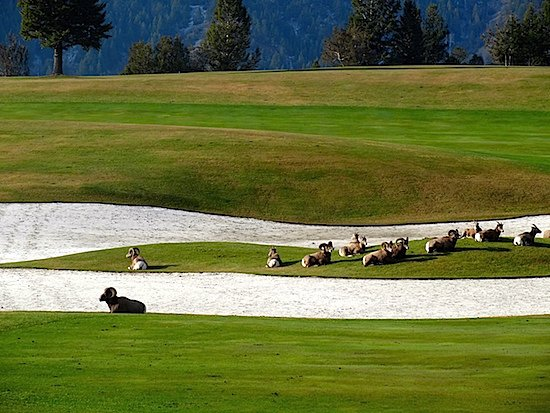 radium-hot-springs-sheep-golf-course