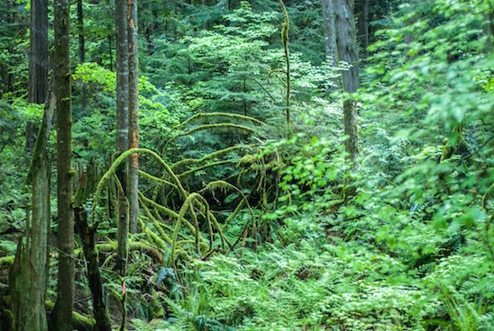 rainforest-aboriginal-bc