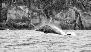 langara-island-humpback-whale