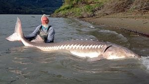 sturgeon-great-river-fishing