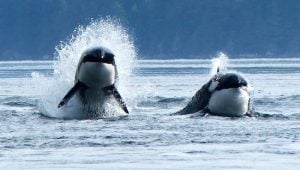 orcas-aboriginal-journeys