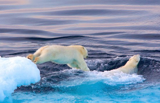 polar-bear-cub-jumping-into-hudson-strait