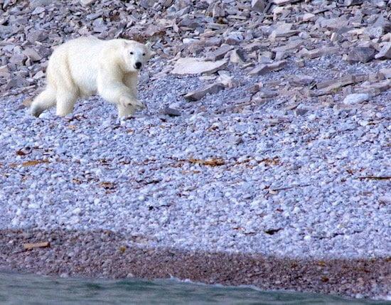 polar-bear-sprinting-akpatoqat-island-nunavut small