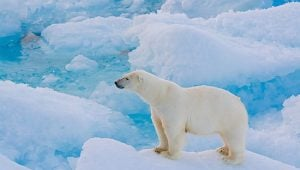 polar-bear-staring-at-ocean-endeavour-adventure-canada