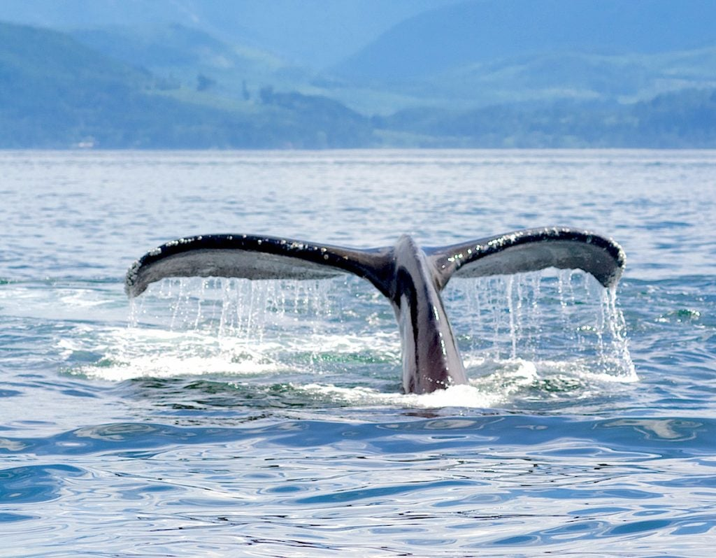 humpback-whale-tail-eagle-wing-tours-victoria small