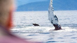 humpback-whale-waving-pectoral-fin-eagle-wing-tours-victoria small
