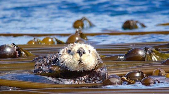 sea-otter-victoria small