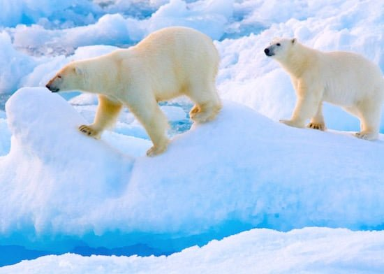 polar-bears-nunavut