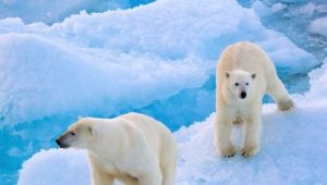 resolution-island-polar-bears