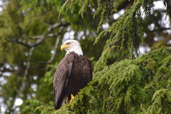 eagle-in-tree-haida-gwaii