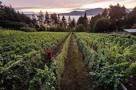 sea star vineyards pender island