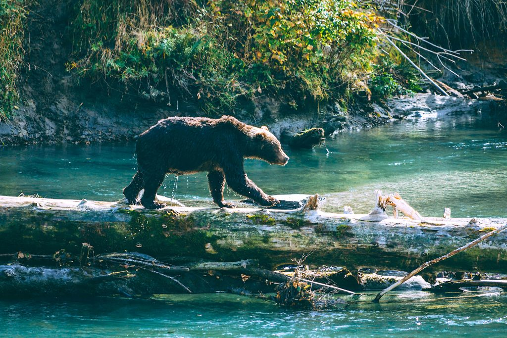 Homfray Lodge Bear sighting