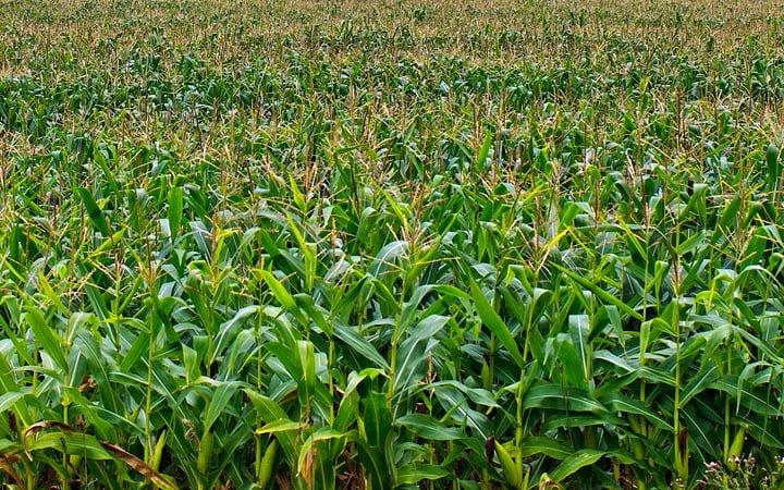 Corn Maze. ©Julia Pelish Photography