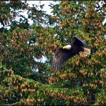 Eagle, Queen Charlotte Lodge, Haida Gwaii, British Columbia, Wildlife viewing
